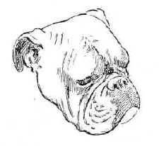 Anglický buldok - hlava
